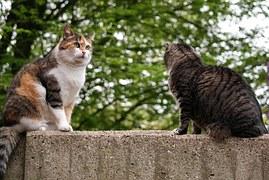 猫の柄 キャリビー