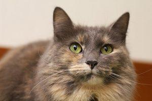 猫の柄 グレーサビ1