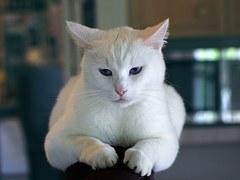 猫の柄 シロ2
