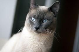猫の柄 シールポイント1