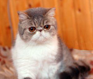 猫の柄 エキゾチック