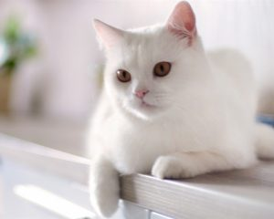 猫の柄 白1