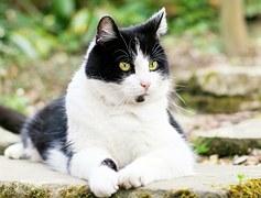 猫の柄 ハチワレ1