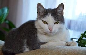 猫の柄 グレーシロ1