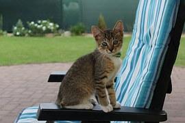 猫の柄 キジシロ2