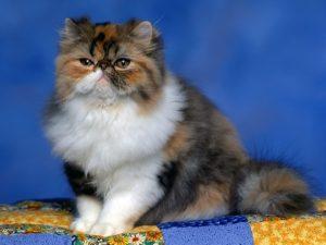 猫の柄 ペルシャ