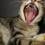 猫が口内炎で食事をしない時の対処法は?はちみつは効くの?
