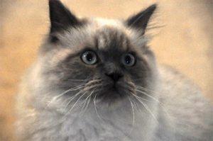 猫の柄 ヒマラヤン1