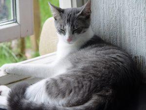 domestic-cat-614945_960_720