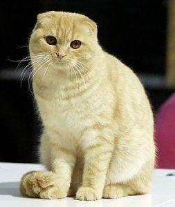 猫の柄 スコティ1