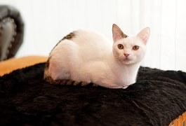 猫の柄 キジトビ4