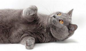 猫の柄 シャルトリュー