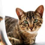 猫の成長が止まるのはいつ?大きさは最大どれくらいになる?