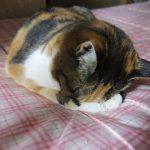 猫の予防接種は毎年受けるのが義務なの?しないとどうなる?