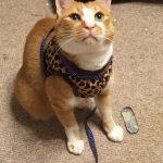 猫用ハーネスの作り方を紹介!手作りがおすすめな理由とは?