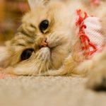 猫が毛玉を毎日吐くのは病気!?気を付けるべきサインとは?