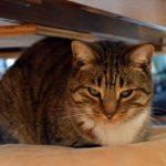 猫の耳が赤いのは体が熱いだけ?病気の可能性はないの!?