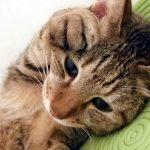 猫の耳のハゲはストレスが原因?おすすめの薬&対処法を紹介