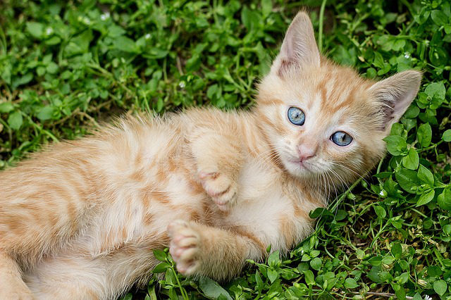tabby-kitten-1517450_640