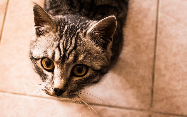 tomcat-1537407_640