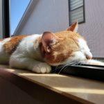 【人間換算】猫の年齢の早見表!ギネスの寿命は?