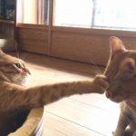 猫がパンチをしてくる意味とは?【動画あり】