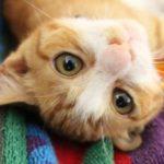 猫の発情期の期間!鳴き声に効果的な5つの対策法を紹介