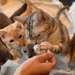 猫が餌に飽きて残す!その原因と対処法とは?