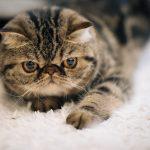 猫のブラッシングにフケ?白い粉の正体と原因とは?