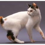猫のしっぽが短い種類の性格や特徴は?