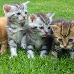 猫の値段が安い種類は?ランキングTOP10