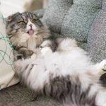 猫のフケ対策!効果的な5つの方法をご紹介!