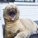 猫の口内炎の治療法は?市販薬を使ってもいいの?
