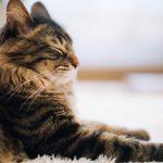 猫伝染性腹膜炎(FIP)の症状とは?感染したら治らない?