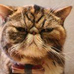 猫の顔の腫れ!膿が溜まっている場合はどうするべき?