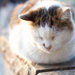 猫伝染性腹膜炎(FIP)の症状とは?原因についても