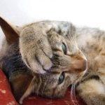 猫の喘息の症状!原因&5つの対処法とは?