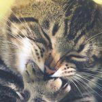 猫の真菌の治療の期間はどのくらい?かかる治療費も合わせて解説