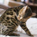 猫が毛づくろいを頻繁にするのはストレス?原因と対処法は