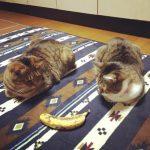猫がバナナを食べると便秘に効果的?与えるときの注意点を紹介