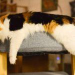 猫が避妊手術後に吐く!放っておくのは危険な理由とは?