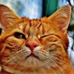 茶トラ猫はでかくなる?性格や特徴も他の猫と違う?