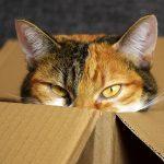 猫がダンボールを好きな理由とは?かじる原因や対策についても