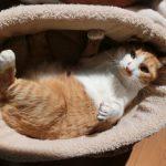 猫のお腹の柔らかいしこりは脂肪?触診で分かる病気も解説