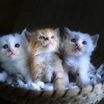 猫が離乳食を食べない!原因と5つの対処法を解説