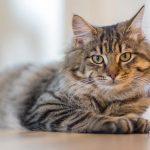 猫が毛玉を吐くのは毛球症?自宅でできるケア方法を紹介