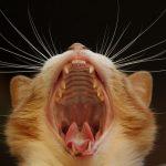 猫が口をくちゃくちゃしてる!食欲不振なのは口腔内の病気だから?