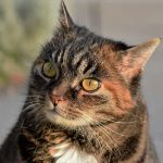 猫の皮膚病に市販薬!サプリメントでも改善できるって本当?