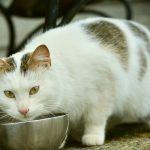 猫が食欲不振でも元気はある!理由は餌が気に入らないって本当?