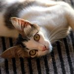 猫が仰向けに寝るのは信頼の証?寝相で分かる猫の気持ちとは?